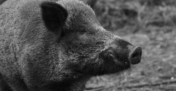 wild-boar-1797731_1280