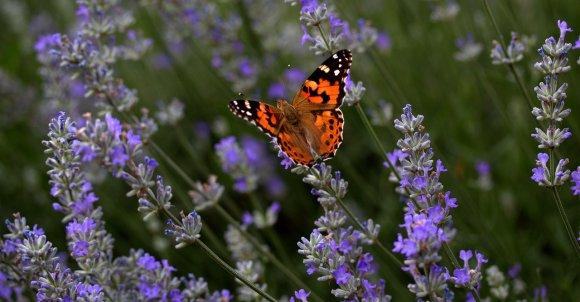 lavender-4279282_1280