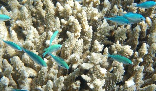 Umierająca Wielka Rafa Koralowa