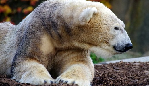 Wymieranie niedźwiedzi polarnych – jakie są tego przyczyny i jaki wpływ ma na to klimat?