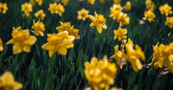 daffodils-6157253_1280