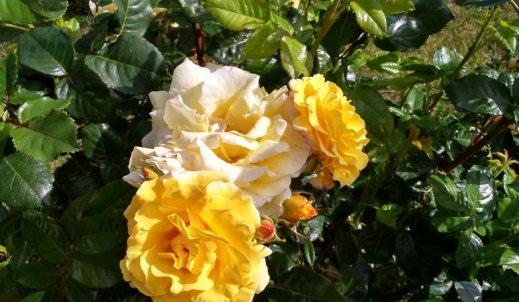 Róże Małego Księcia