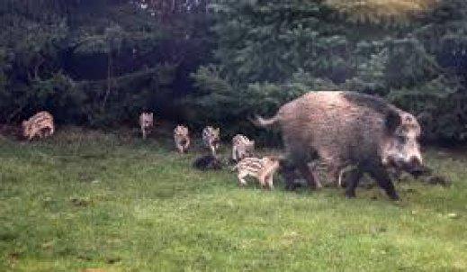 Uwaga na dziki