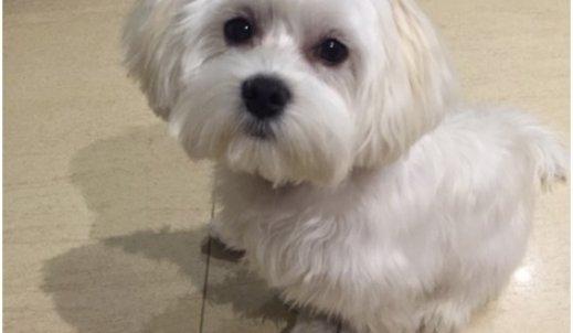 Mały biały pies – wielki przyjaciel !
