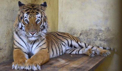 Tygrysy na granicy.